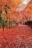 京都府 光明寺 雨に濡れる敷き紅葉の参道