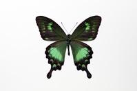 蝶 標本 スンバアオネアゲハ