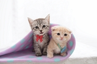 2匹の猫(マンチカンと雑種)