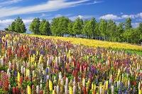 北海道 ルピナス咲く丘