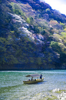 京都・嵐山 桂川の遊覧船と群生する山桜