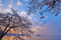滋賀県 高島市 琵琶湖 桜