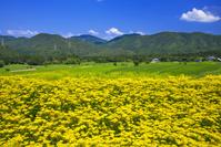 京都府 越畑のオミナエシ畑