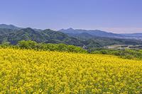 福島県 三ノ倉高原 菜の花