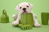 ブルドッグ おもちゃで遊ぶ犬