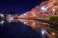 埼玉県 上沼公園の夜桜