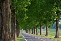 新緑のメタセコイア並木道