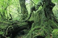 屋久島 白谷雲水峡のもののけ姫の森
