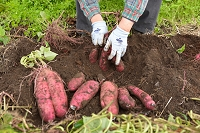 栃木県 畑仕事 サツマイモの収穫