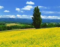 北海道・美瑛町 ケンとメリーの木と十勝岳遠望