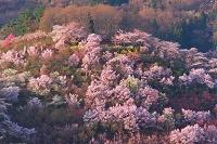 福島県 朝の花見山