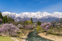 長野県 桜咲く大出公園と白馬連峰