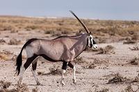 ナミビア ゲムズボック エトーシャ国立公園