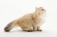 ペルシャ 横を向いて座っている子猫