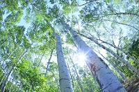 岩手県 平庭高原 白樺林