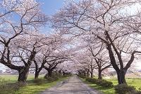 岩手県 北上展勝地 桜並木