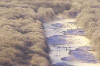 北海道 雪裡川の朝とタンチョウ
