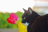 赤いチューリップが気に入った猫