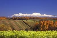 上富良野から芥子菜畑と大雪山・旭岳を望む