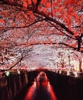 東京都 中目黒夜桜