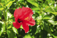 東京都 小笠原諸島 母島 ハイビスカスの赤い花
