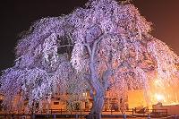 北海道 法亀寺のしだれ夜桜・ライトアップ