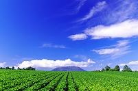 北海道 雲を被った羊蹄山と豆畑の丘