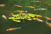 京都府 ハスの花と錦鯉