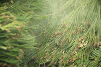 長野県 杉花粉