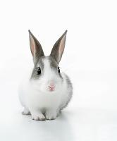 こちらを向いたウサギ