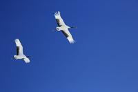 北海道 青空を飛ぶタンチョウ