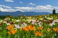 新潟県 ユリ 月岡公園花広場