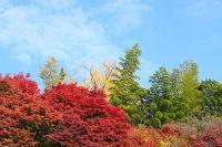 京都市 楓の紅葉と青竹と青空