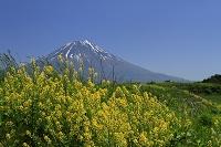 カラシナの花に富士山
