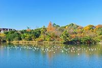 三重県 道伯池とユリカモメ