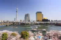 東京都 台東区 隅田公園の桜と輝くスカイツリー