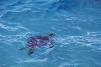 ハワイ ミッドウェー 呼吸のため海面に浮上したアオウミガメ