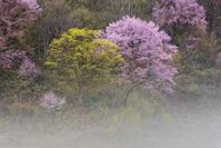 福島県 戸赤の山桜