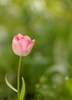 緑葉を背にした一輪のピンクのチューリップ