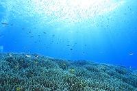 海中のイメージ サンゴ礁 石垣島