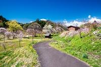 長野県 白馬村 大出公園 水車小屋とサクラ