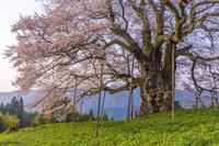 朝日を浴びる醍醐桜