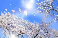 舞い散る桜の花