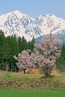 長野県 白馬村の桜と白馬鑓ヶ岳左と杓子岳右の山