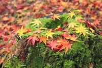 静岡県 修善寺もみじ林の切り株に落ちた散り紅葉