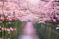 東京都 春の目黒川の桜