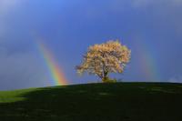 岩手県 朝日を受ける一本桜と二重の虹