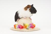 帽子にのぼっているモルモット