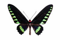 蝶 標本 パラワンアカエリトリバネアゲハ フィリピン