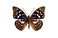 蝶 標本 オオムラサキ 日本
